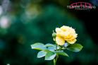 Raleigh, NC Photography Workshop; Raleigh Rose Garden Photographer